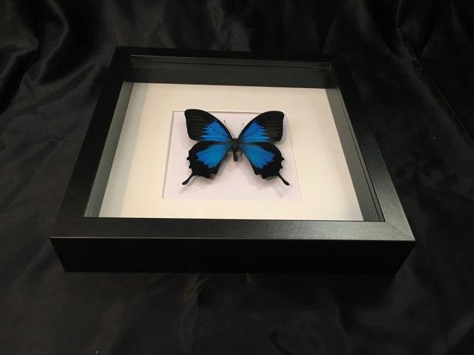 Papilio Ulysses - Blauwe vlinder