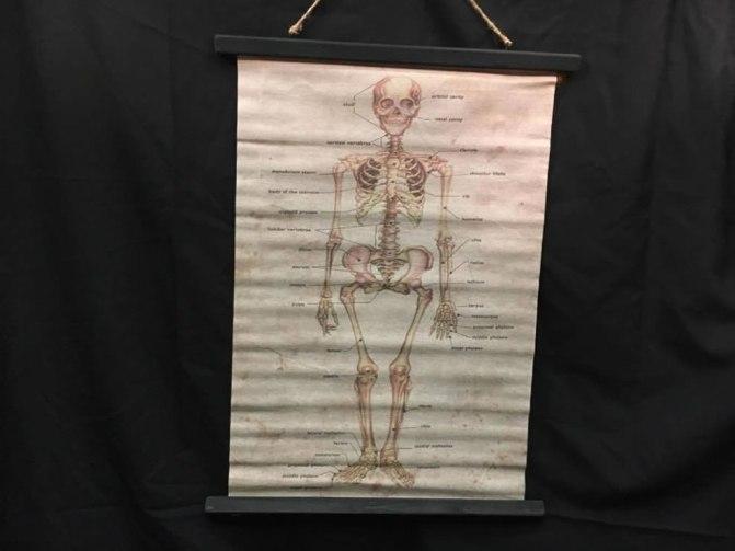 wandkaart skelet