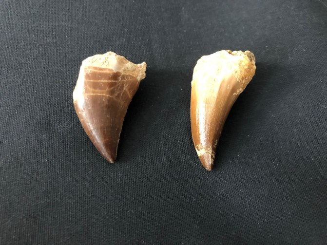 objets-trouves-leuven-fossiel-mosasaurus-tand